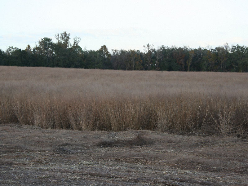 bareroot-switchgrass