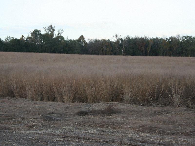 bareroot-switchgrass